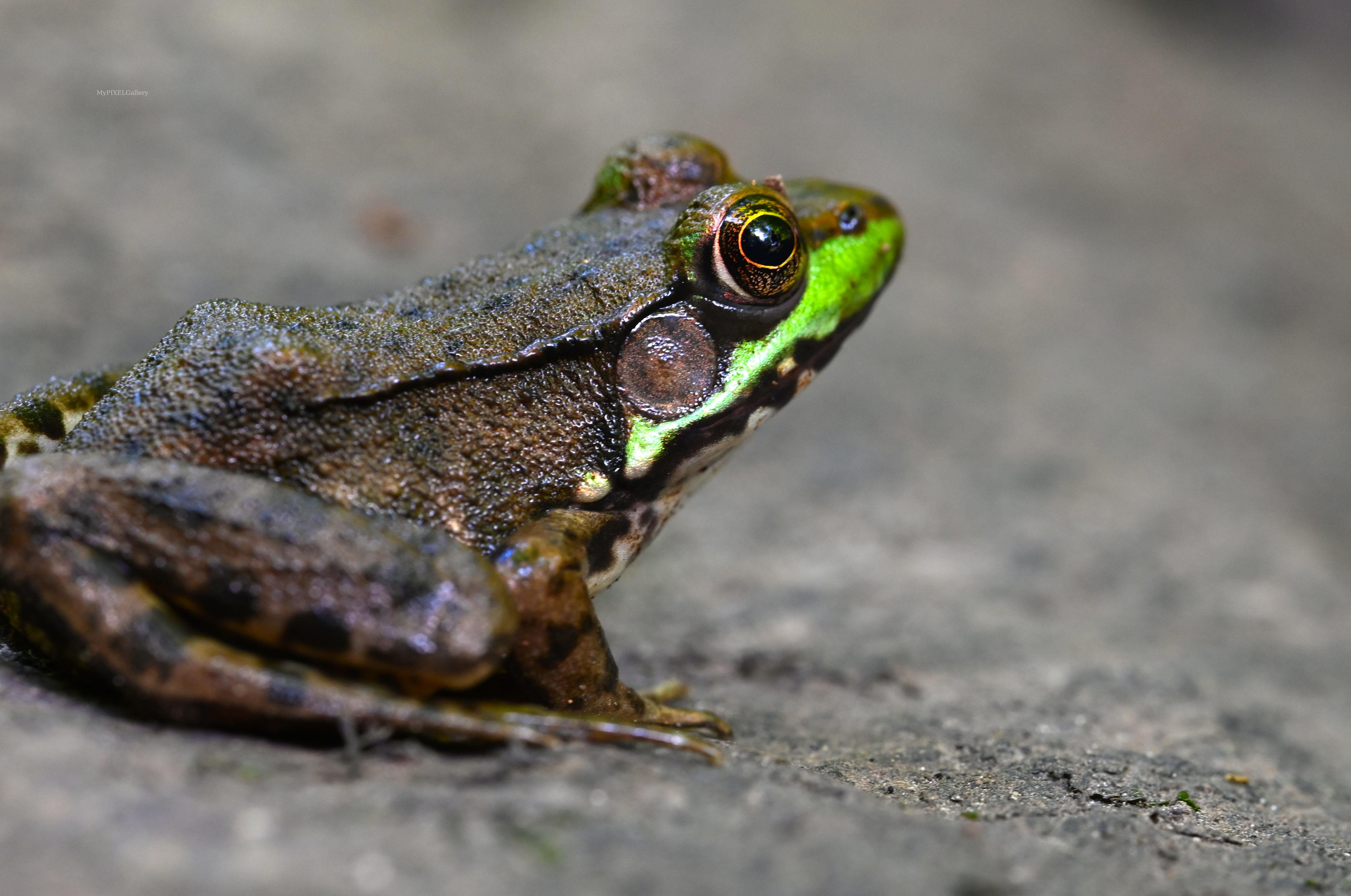 Macro of the American bullfrog