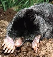 mole exterminator Indiana Young Environmental Solutions