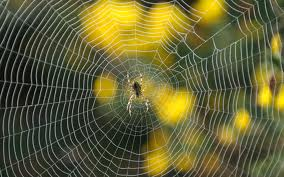 spiders            Young Environmental Solutions