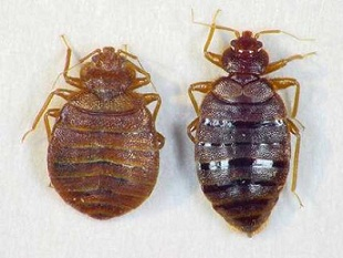 bed bugs   Young Environmental Solutions