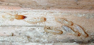 Termite Control   Invader Pest Management