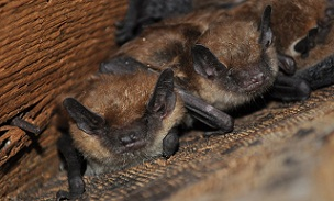 Bats Elkhart Pest Control