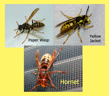 Types Of Wasps In New Jersey Ross Pest Control Mold Removal