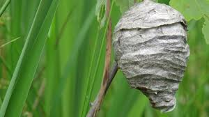 remove a hornets nest   Young Environmental Solutions