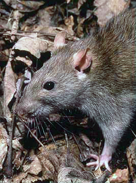 Norway rat   most common rat   Young Environmental Solutions