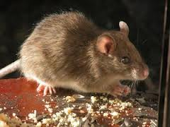 mice control, Young Environmental