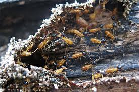 termites, Young Environmental
