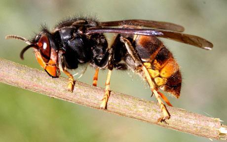 Hornets    Slug-A-Bug