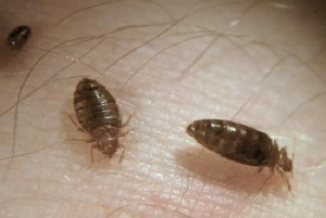 So Many Questions About Bed Bugs