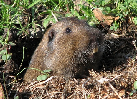 Gophers - Tearing Up Your Lawn - Invader Pest Management