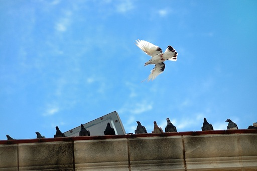 Pigeons Are Coming Home Invader Pest Management