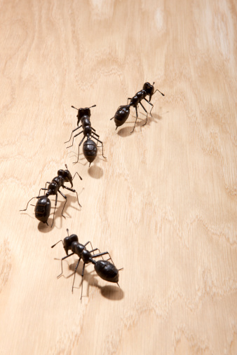Little Black Ants In Your Kitchen