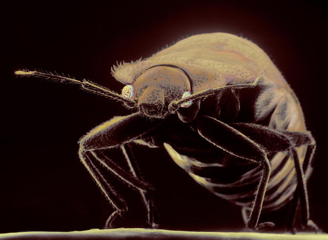 bed bugs from traveling   Young Environmental Solutions