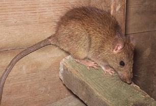 rodent extermination, Ransford Pest Control
