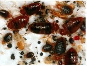How Did Bed Bugs Reproduce