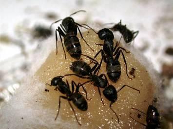 carpenter ant, Ransford Pest Control