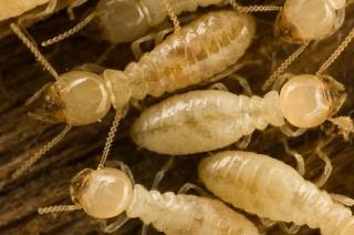 termite control, Ransford Pest Control