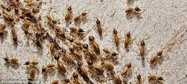 termite swarm, Ransford Pest Control