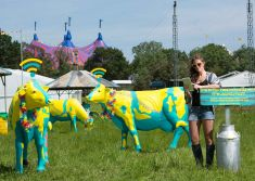 Wi-fi cows at Glastonbury