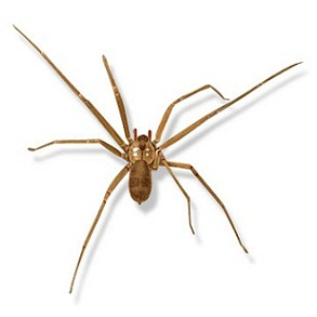 Dangerous Household Spiders Of Indiana Yes Pest Pros Inc