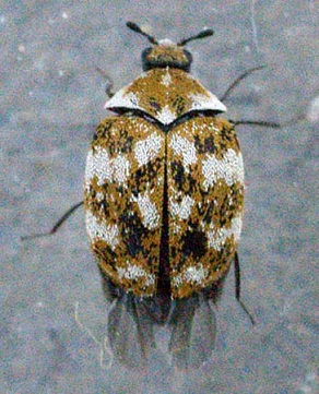 carpet beetles, Young Environmental Solutions