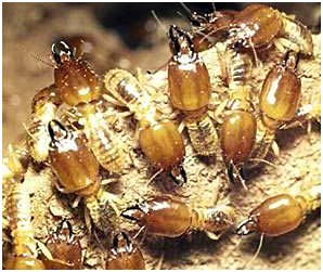 Termites   Young Environmental Solutions