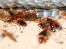 Why Bed Bugs Keep Coming Back To Your Home Invader Pest