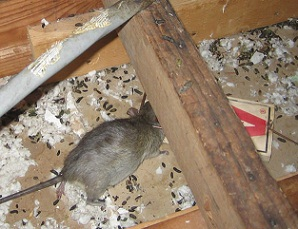 Nice They Roof Rat Control Invader Pest Management Phoenix Pest Exterminator