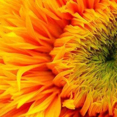 Lg_avatar_beautiful-fiery-sunflower-center