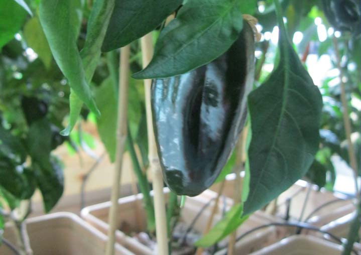 A pepper is ready for picking at Kelloggsville Middle School