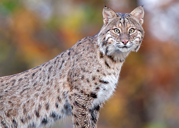 WildcatMarshBobcatWeb