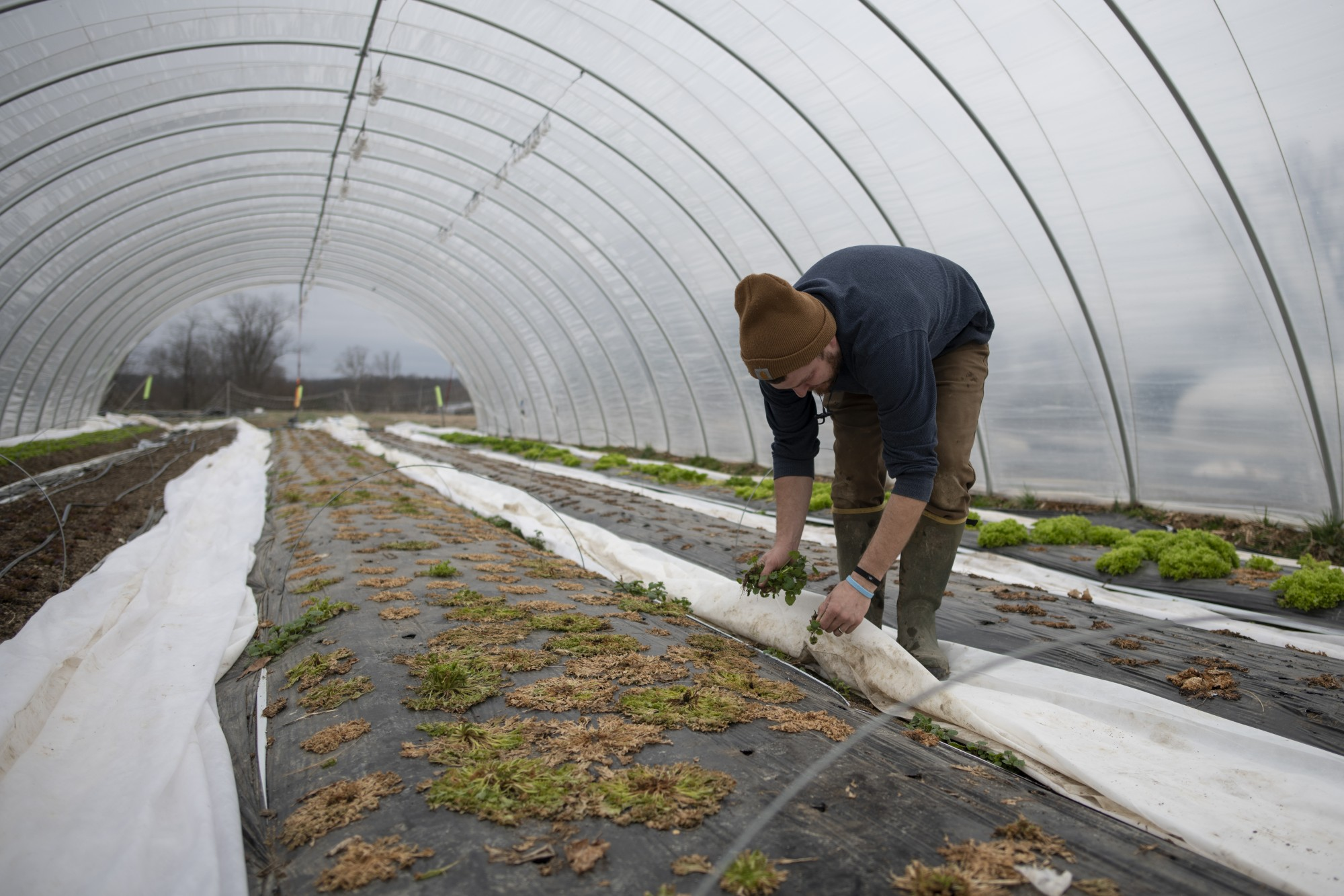Adam Blaney removes frost-stricken cabbages from the greenhouse on his farm in Albany, Ohio, on March 2, 2020.