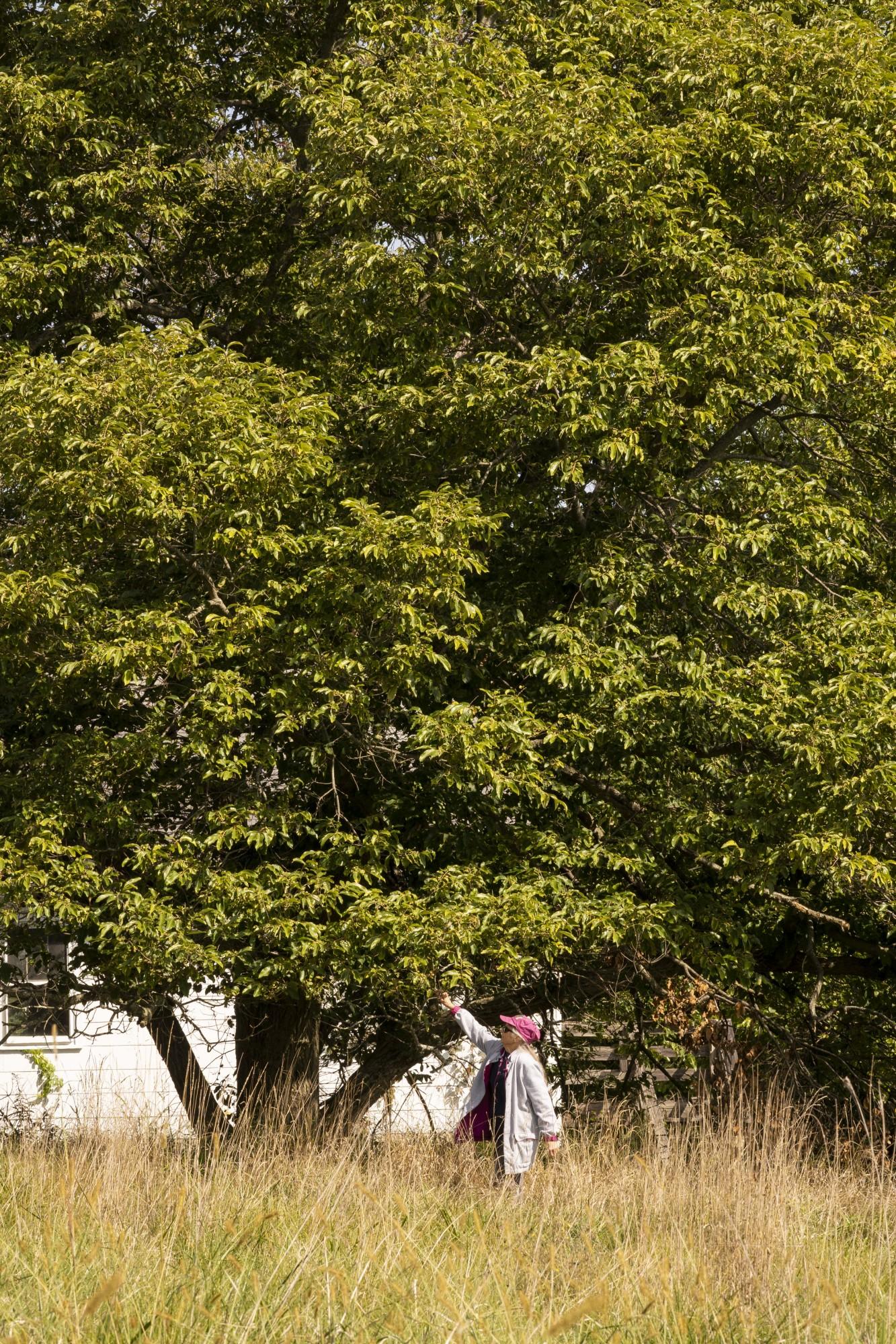 MaryLu Lageman, 80, of Loveland, Ohio, with her Chinese Chestnut Tree on Tuesday, Sept. 21, 2020.