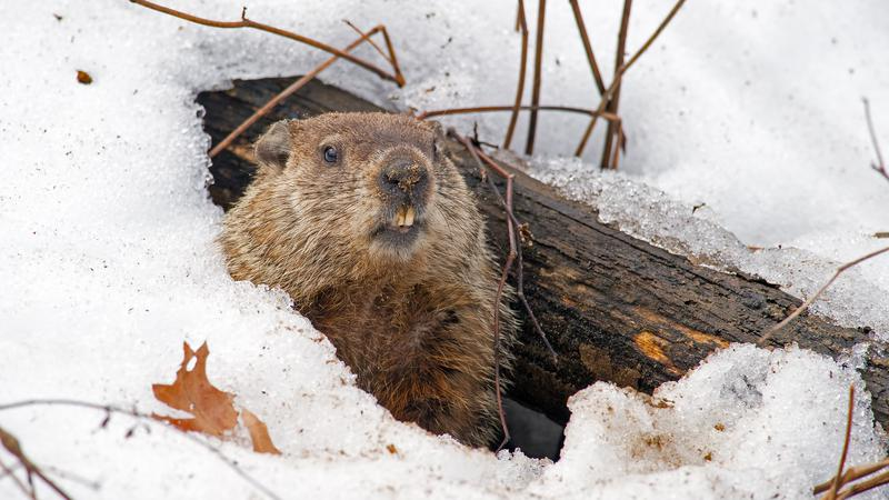 Shubenacadie Sam calls for an early Spring