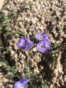 joshua tree wildflowers 04