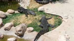 Cheyenne Mountain Zoo: Alligators