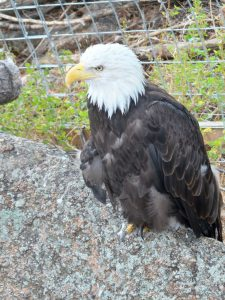 Cheyenne Mountain Zoo: Bald Eagle