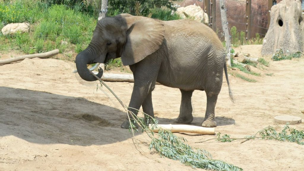 Cheyenne Mountain Zoo: Elephant with Snack