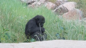 Cheyenne Mountain Zoo: Gorilla Kid