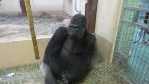 Cheyenne Mountain Zoo: Pensive Gorilla