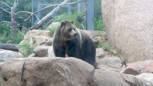 Cheyenne Mountain Zoo: Grizzly Bear