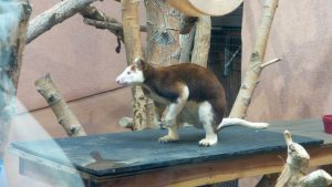 Cheyenne Mountain Zoo: Matschie's Tree Kangaroo