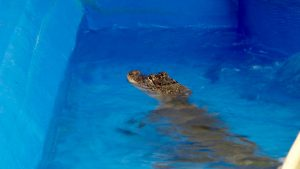 Cheyenne Mountain Zoo: Kid Alligator