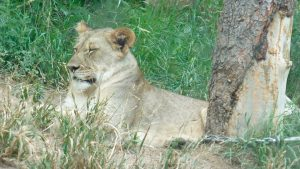 Cheyenne Mountain Zoo: Lion