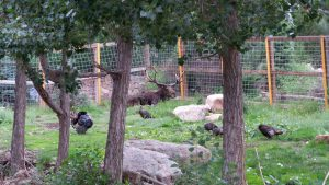 Cheyenne Mountain Zoo: Moose with Turkeys