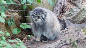 Cheyenne Mountain Zoo: Pallas Cat