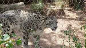 Cheyenne Mountain Zoo: Snow Leopard