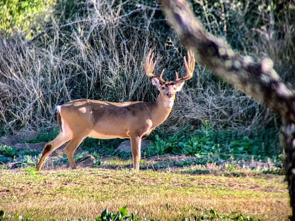 Buck available For Harvest.....