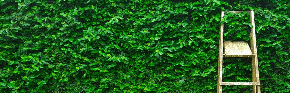 Beautiful Privacy Hedges In South Florida - Mr. Clusia