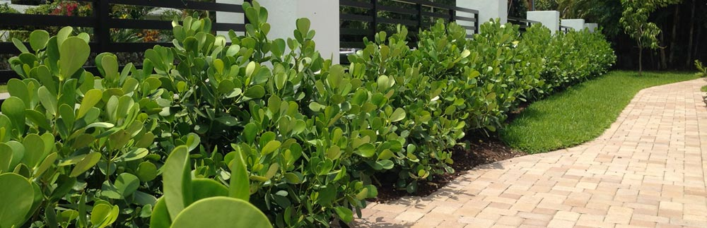 Clusia Hedges In Miami And South Florida - Mr. Clusia